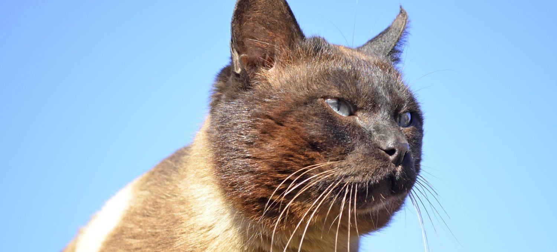 Siamesische Katze   Foto: lmilo via pixabay